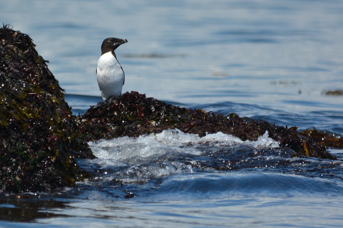 Razorbill on Whitehorse Island