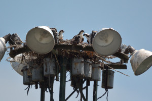 Osprey young on nest