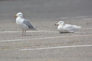 Rocky and Glaucous